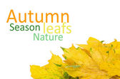 Beautiful autumn leafs isolated in white — Stock Photo