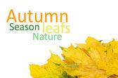 美丽的秋天枫叶隔绝在白 — 图库照片