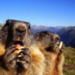 Marmots — Stock Photo #37535421