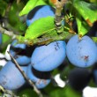 Plums on a tree — Stock fotografie