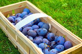 The Plum basket — Stockfoto