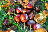 Conkers — Stock Photo