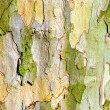 Bark of plane tree — Stock Photo