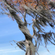 Spanish Moss Filled Tree Blowing Wind — Stock Photo
