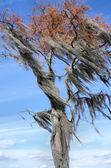Spanish Moss Filled Tree Blowing Wind — Foto de Stock