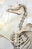 Horse skeleton. Bones — Stock Photo
