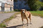 Big beautiful smart dog — Stock Photo
