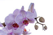 Orchid closeups — Stock Photo