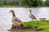 Egyption goose with babies — Stock Photo