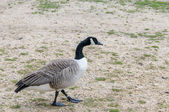 Goose walking in a park — Stock Photo