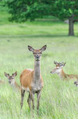 Deer's standing in grass and looking — Stock Photo