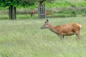 In piedi di cervo in un prato verde — Foto Stock