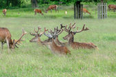 Group of deer's standing and sitting in a park — Stock Photo