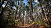 Dusty trail through an Australian forest — Stock Photo