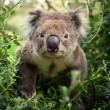Koala Bear looking at camera — Stock Photo