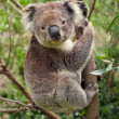 Koala bear sitting in a tree — Stock Photo