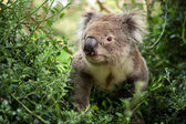 Koala Bear walking — Stock Photo
