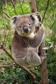 Koala bear sitting in a tree — Stock Photo