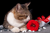 Cat smelling red Rose with black background — Stok fotoğraf