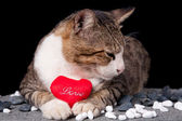 Cat holding red heart shaped love with black background — 图库照片