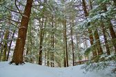 Winter Woods — Stockfoto