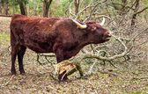 Red Devon Cow — Stock Photo