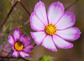 Blooming cosmos — Stock Photo