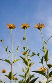 Autumn of sunflowers under the blue sky — Stock Photo