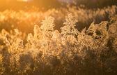 Reed autumn sunset — Stock Photo