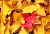 One red leaf in many yello leaves — Stock Photo