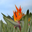 Bird of paradise flower Strelitzia regina — Stock Photo