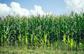 Maize field in summer — Stock Photo