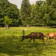 Fallow deer grazing on antlers — Stockfoto