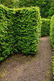 Natural maze wall of trees — Stock Photo