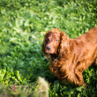 Stock Photo: Irish setter