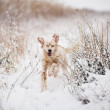 Dog running in snow — Stock Photo #39799641