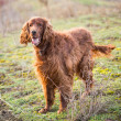 Stock Photo: Portrait of Irish Red Setter