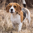 Beagle dog portrait — Stock Photo