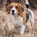 Beagle dog portrait — Stock Photo