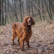 Stock Photo: Irish setter in wood