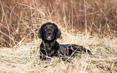 Portrait of a young black labrador puppy — Stock Photo