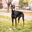 Foto Stock: Playing Doberman