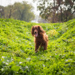 Stock Photo: Happy Irish setter