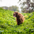Stock Photo: Chheerful Irish Setter