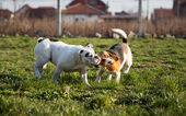 Beagle and Bulldog — Stock Photo