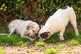 English setter and English Bulldog — Stock Photo