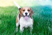 Beagle hund — 图库照片