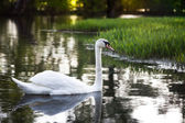 Nádherná labuť — Stock fotografie