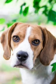 Beagle dog looking — Stock Photo