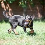 Rottweiler — Stock Photo #47079505
